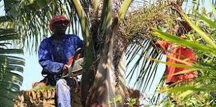 Palm Trimming - Gauteng - Muzocfellers and Gardening