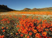 Namaqualand Private Spring Flower Tour 2017 - Cape Region