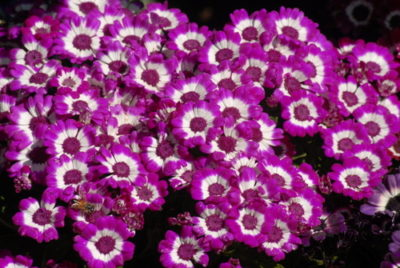 Smaller Garden Plants - Cineraria - Annuals