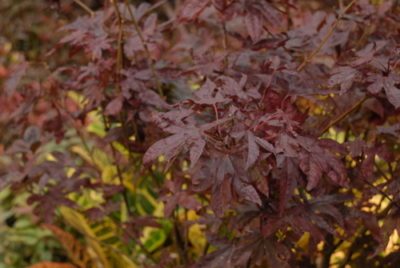 Smaller Garden Plants - Japanese Maple Tree