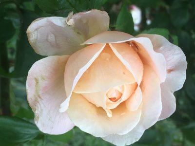 Rose Walk & Talk @ Ludwigs Rose Farm - Wallmannstahl Pretoria