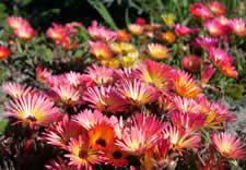 Waterwise Indigenous Plants - Cape Town