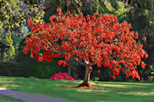 Waterwise Trees - Coral Tree - Cap Town