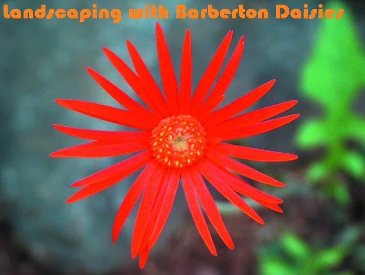 Barberton Daisy Nursery