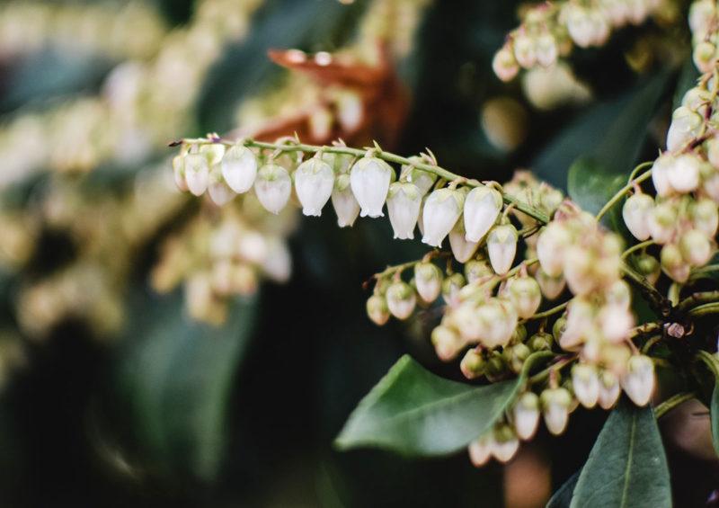 Pieris Flower, Winter, Hardy